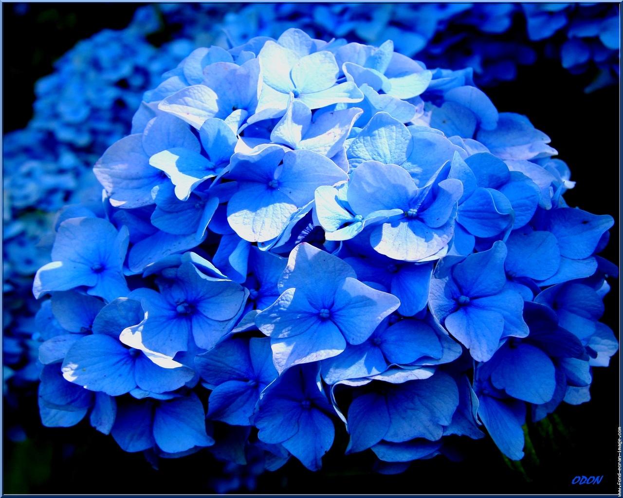 La couleur des hortensia physique de tous les jours - Taille des hortensias fleurs ...