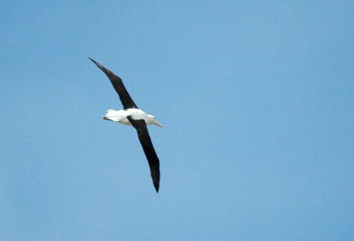 Albatros royal Diomedea epomophora Southern Royal Albatross